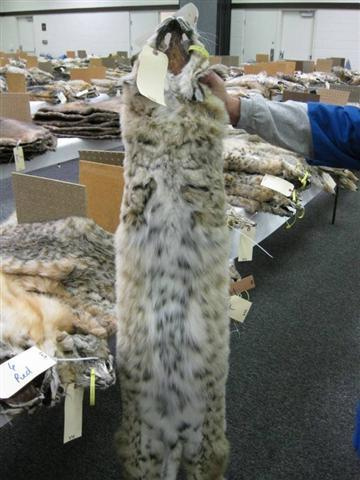 Check Out This Pelt Went For 800 I Thought Bobcats Has Spotted Bellies