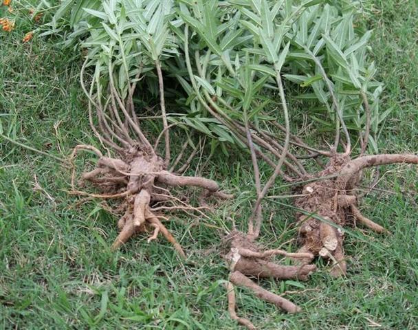 forum threads root fino