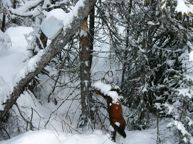 Marten Traps Wilderness Trapping And Living Archive
