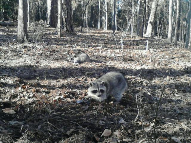 Coon trapping deer feeders