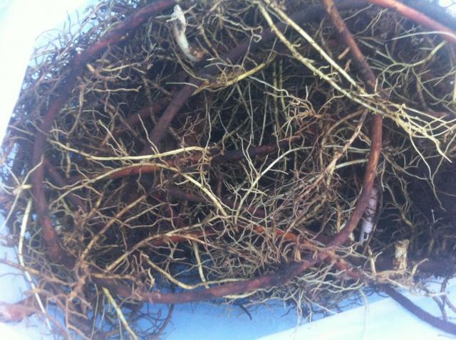 Digging Mayapple - Trapperman Forums