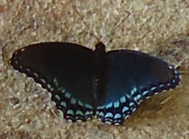 Very Few Butterflies This Season Trapper Talk