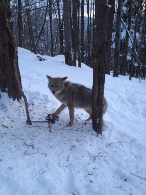 how to make coyote bait