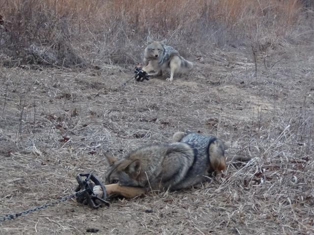 Early season coyotes rolling on sets trapper talk trapperman early season coyotes rolling on sets trapper talk trapperman forums sciox Image collections