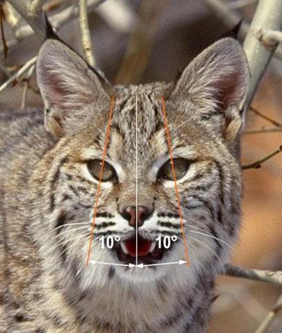 Bobcat Taxidermy Trapper Talk Trapperman Com Forums