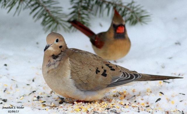 Winter Backyard Birding  Trapper Talk  Trappermancom Forums