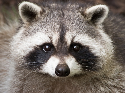trapper  Raccoon